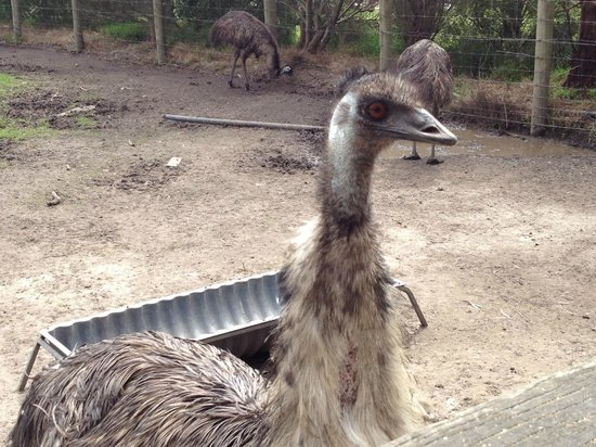 Maru Koala and Animal Park: Emu at Maru Koala Park