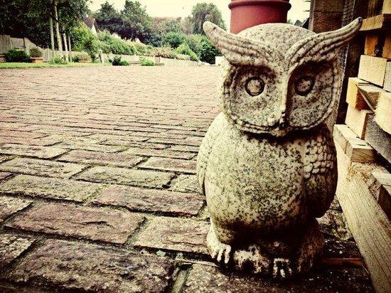Barn Owls: owl