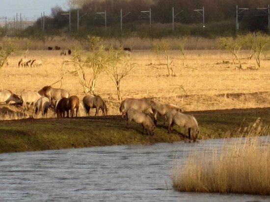 Oostvaardersplassen: Wild horses drinking....