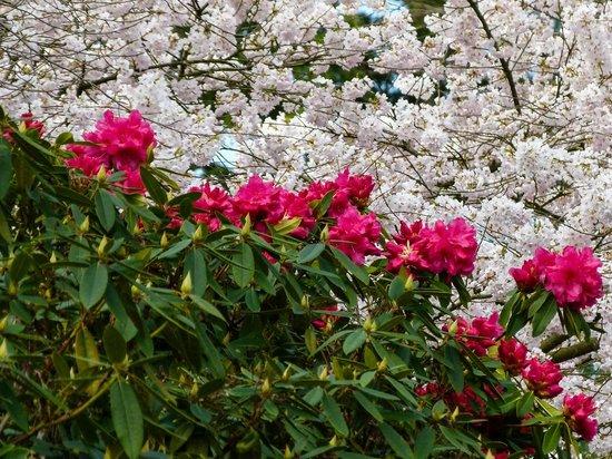 Bellevue Botanical Garden: Rhoadies and cherry blossums