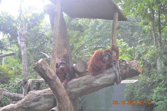 Singapore Zoo: Orang Utan