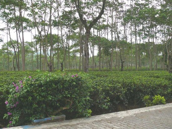 Lawang, Indonésia: Some Villa May Have Facing the Tea Garden