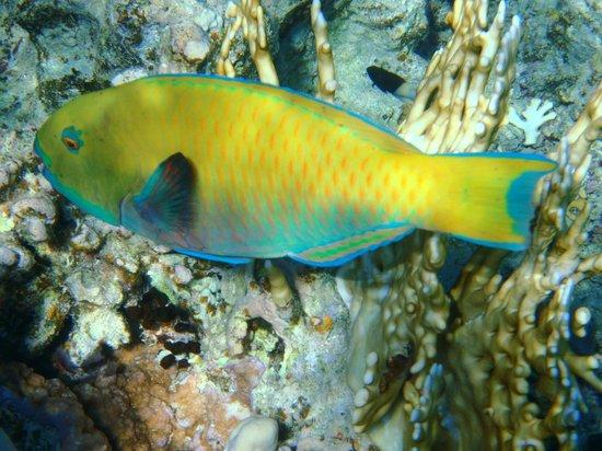 Domina Coral Bay Prestige Hotel : beautiful multicoloured fish while snorkelling from beach