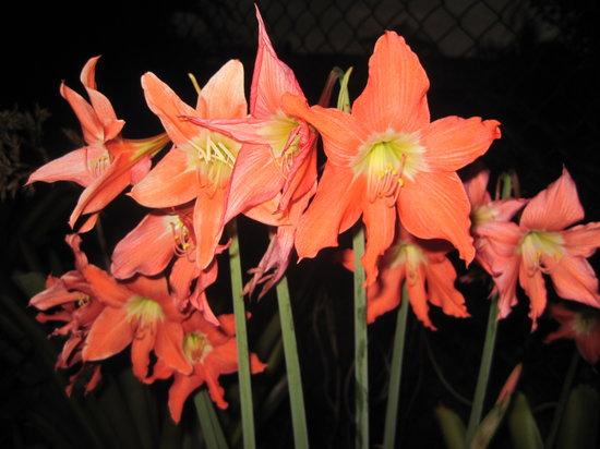 Bromeliad Bed and Breakfast: Bulbs in bloom