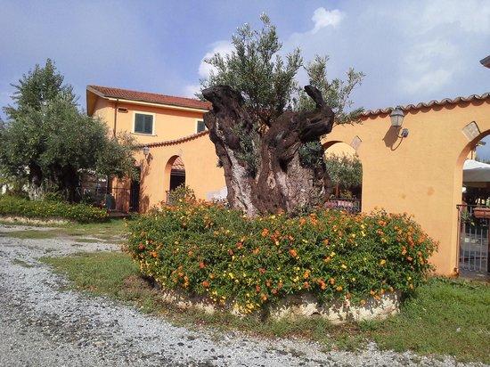 Agriturismo Masseria I Risi: ancient olive tree