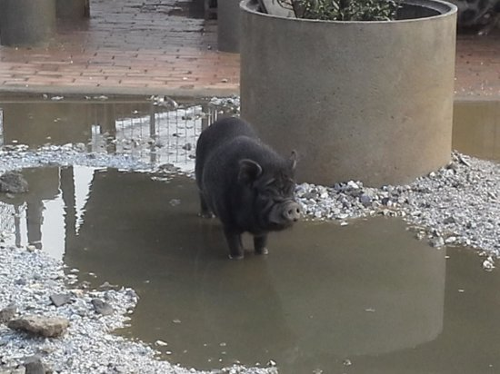 Agriturismo Masseria I Risi: vietnames pig I think