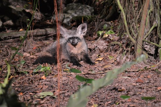 Night Safari : Bat Eared Fox