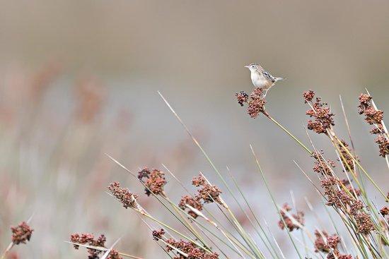 North Birding Tours - Day Tours: Graszanger