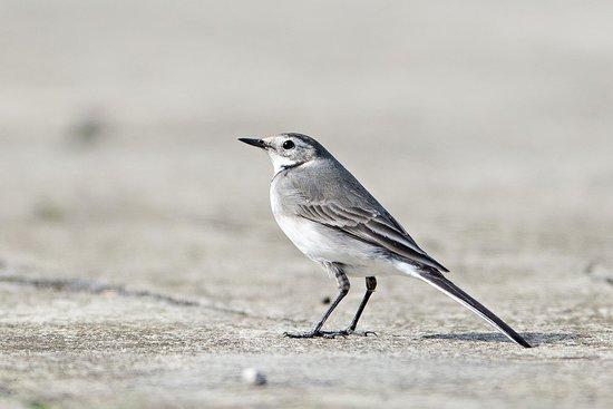 North Birding Tours - Day Tours: Kwikstaart
