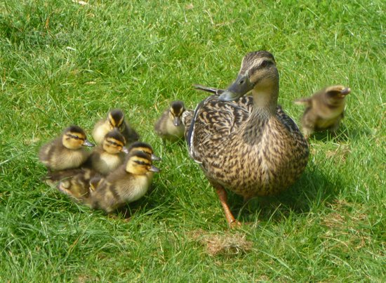 Pollaughan Holiday Cottages: Wild Ducklings on our WIldlife lake