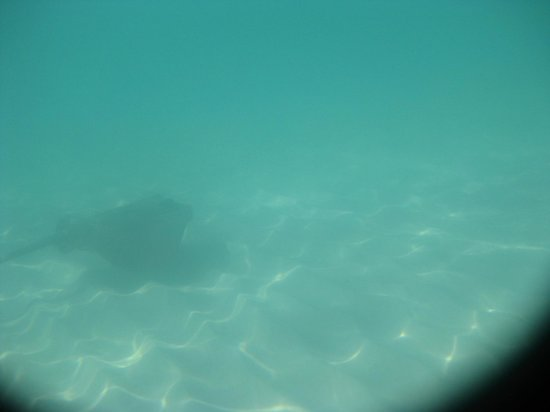 Whitehaven Beach : Stingray!