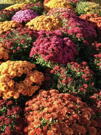 Trapp Family Lodge: Beautiful fall mums!