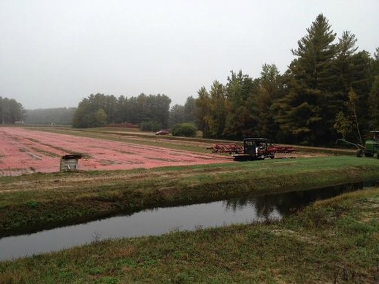 Warrens, Висконсин: Cranberry bog with tractor with vibrating jig to loosen berries