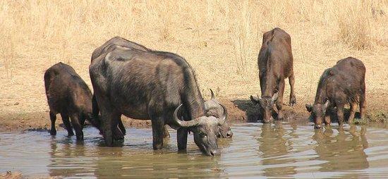 Old Ursula Camp: Kaffernbüffel an der Wasserstelle