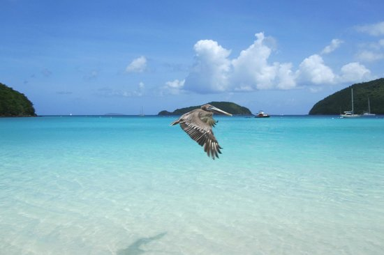 Maho Beach Pelican Fly By