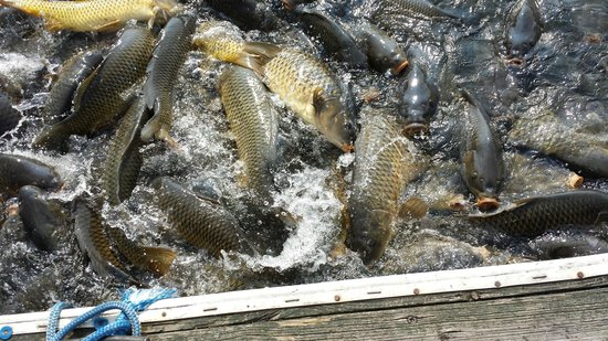 Stonewall Resort: Feeding fish at the nearby board dock.