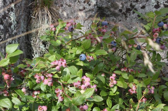 Sugarloaf Mountain: Wild blueberries