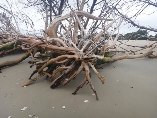 Cap'n Rod's Lowcountry Plantation Tours: huge driftwood trees on the island
