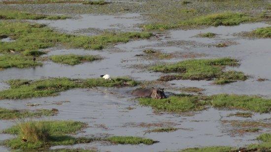 Observation Hill : Hippopotame au pied de la colline