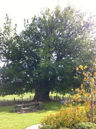 Neudorf Hall Exquisite Country B&B : Original Oak tree brought to Moutere by German settlers