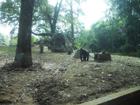 Zoo Atlanta: gorilla exhibit