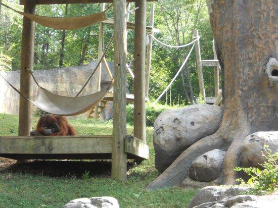 Zoo Atlanta: orangutan exhibit
