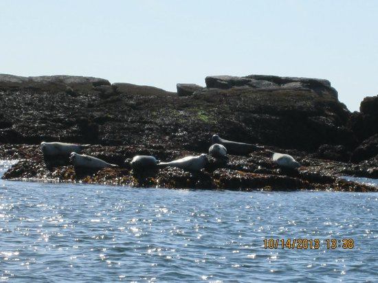 Sail Acadia: Harbor seals!