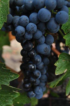 Elite Limo Napa Tours: Wine Grapes almost ready to harvest