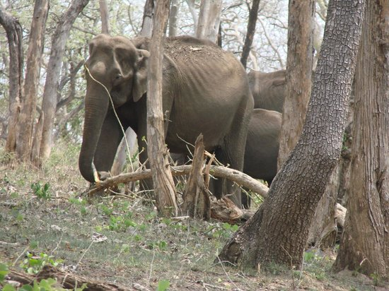 Sagar Holiday Resorts: Elephant Herd @ Bandipur on the way to Resort