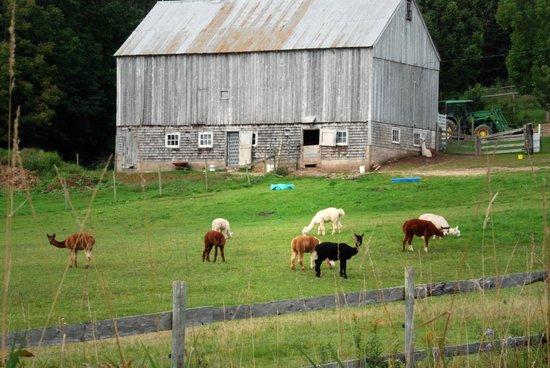 Azelia Farmhouse B & B: Alpaca herd at barn