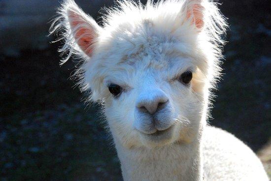 Azelia Farmhouse B & B: Young alpaca