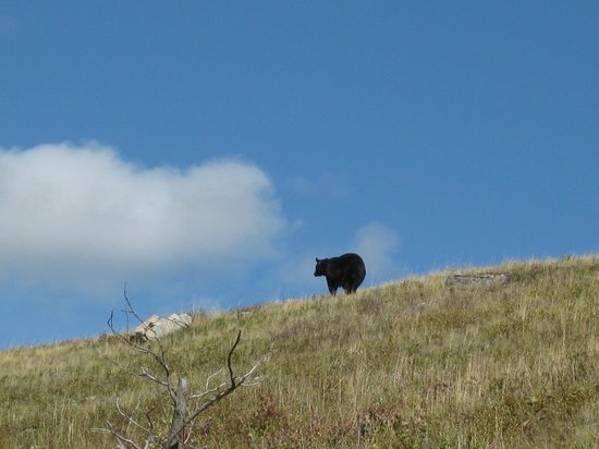 Stepping Stone Cabins Bed & Breakfast : Black bear in Waterton Lakes NP