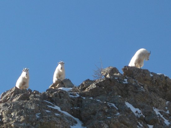Stepping Stone Cabins Bed & Breakfast : Mountain Goats on Mt. Richards in Waterton Lakes NP