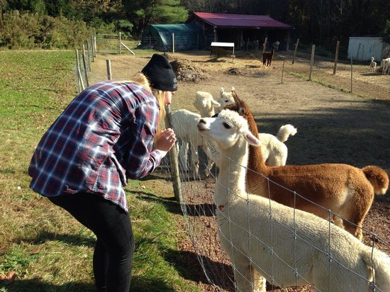 Durham, ME: Getting friendly with the Alpacas