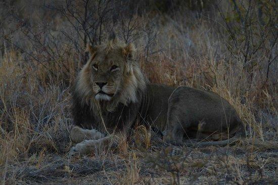 Tau Pan Camp - Kwando Safaris: Tau Pan Camp Lion