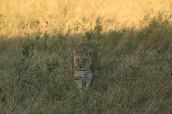 Lobo Wildlife Lodge: a lioness just outside main gate