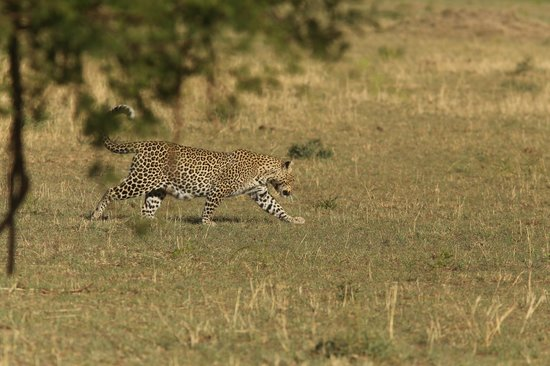 Lobo Wildlife Lodge: a leopard 100m from the lodge.