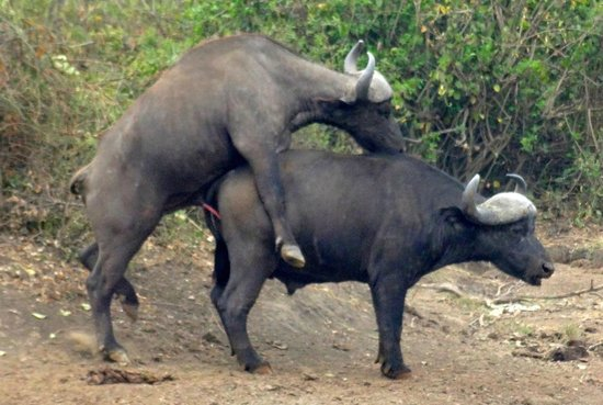 Bwindi Impenetrable National Park, Uganda: Water buffalo mating in Queen Elizabeth National Park Uganda