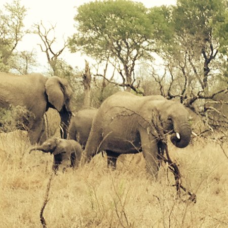 Singita Castleton: Elephants joining us on Game Drive