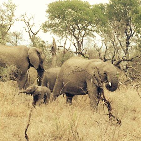Singita Castleton : Elephants joining us on Game Drive
