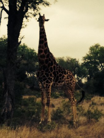 Singita Castleton: A Giraffe enjoying her afternoon meal