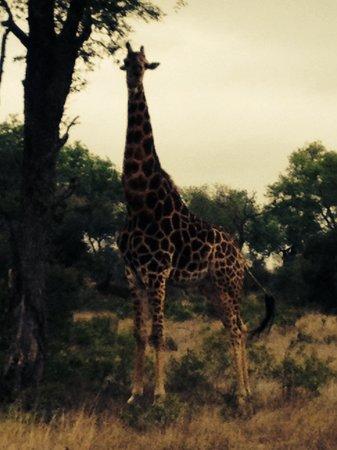 Singita Castleton : A Giraffe enjoying her afternoon meal