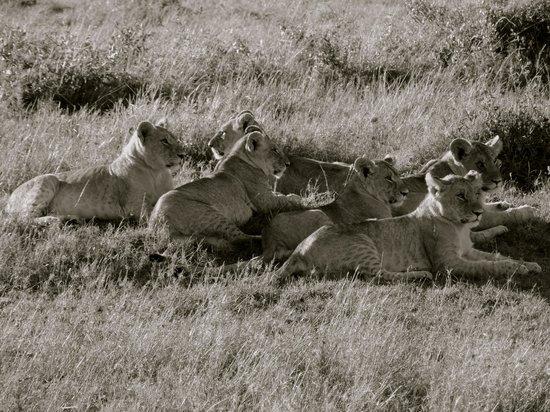 Basecamp Masai Mara: Evening pride