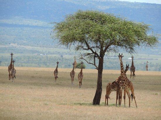 Basecamp Masai Mara: Giraffe