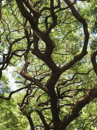 Wai'oli Tea Rooms: The trees are magnificent.