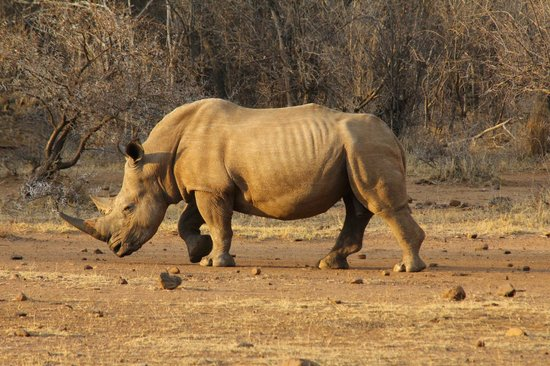 Tambuti Lodge : The white rhino is well-protected in this reserve