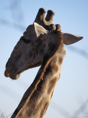 Tambuti Lodge : Gigantic giraffe