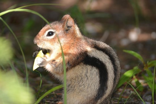 Buffaloberry Bed and Breakfast: A Golden Mantled ground squirrel