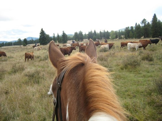 McGinnis Meadows Cattle and Guest Ranch: Herding cows