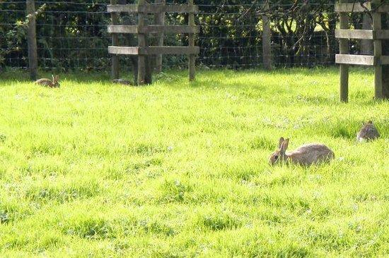 Hill Top, Beatrix Potter's House: wild bunnies at Hill Top Farm